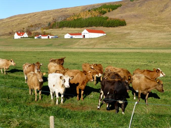 Hello Cows 1