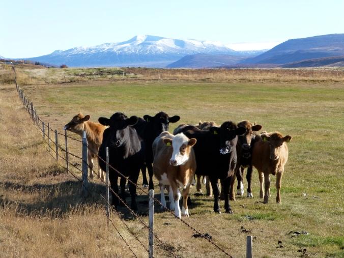 Hello Cows 2