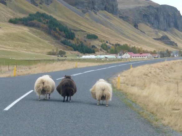 Sheep on Route 1